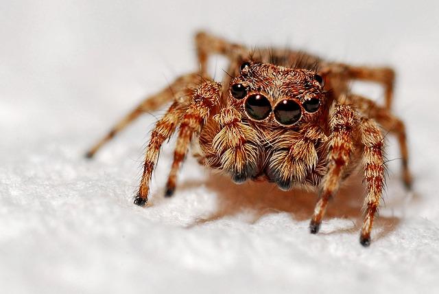 chlupatý pavouk